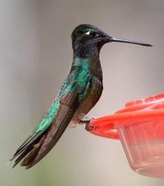 Hummingbird_RamseyCyn-AZ_LAH_7850