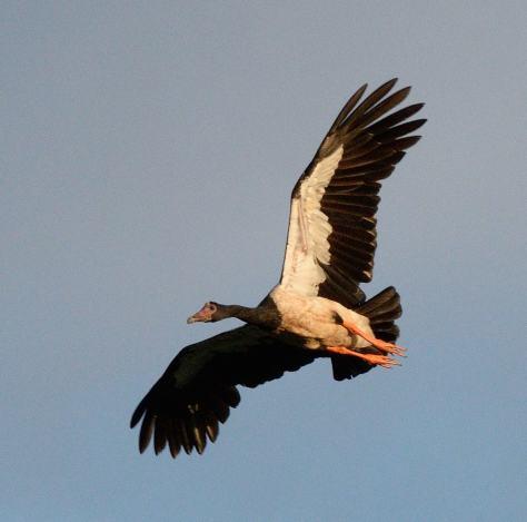magpie-goose_daintreeriver-boat-qld-australia_lah_6231