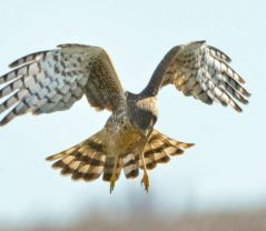 Northern Harrier_SacramentoNWR-CA_LAH_1794f