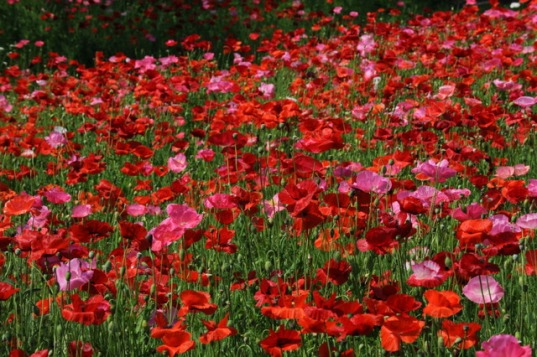 Papaver_rhoeas_ShirleyPoppies_TaylorU-IN_20090613_LAH_2878