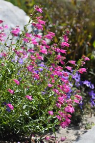 Penstemon x mexicali 'Red Rocks'_NewSantaFeTrl-COS-CO_LAH_2644