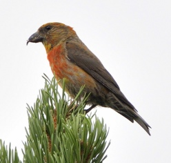 Red Crossbill_Hwy103-IdahoSprings-CO_LAH_6711