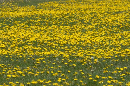 Taraxacum officinal_Dandelions_LeadvilleFishHatchery-CO_LAH_2029
