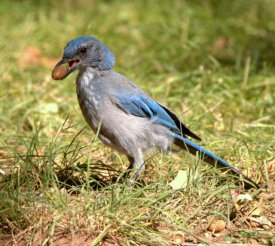 Woodhouse's Scrub Jay_TurkeyCreek-FtCarson-CO_LAH_0170