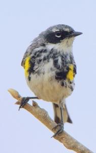 Yellow-rumped Warbler- Myrtle's_Patagonia-AZ_LAH_3751