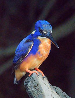 azure-kingfisher_daintreeriver-boat-qld-australia_lah_5997f