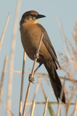 Boat-tailed Grackle_SabineNWR-LA_LAH_1649