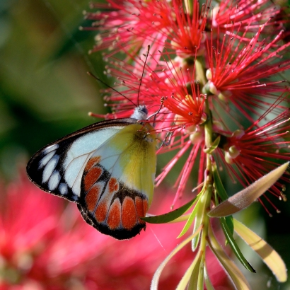butterfly-on-bottlebrush_daintree-qld-australia_lah_6548f