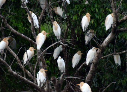 cattle-egrets_daintreeriver-boat-qld-australia_lah_6117