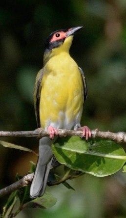 figbird_daintreeriver-boat-qld-australia_lah_6389