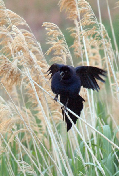 Great-tailed Grackle_JamesMRobbCoRivSP-CO_LAH_3201
