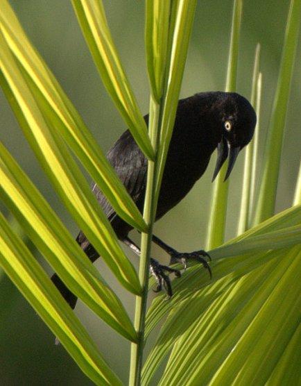 Greater Antillean Grackle_BoqueronPR_20100522_LAH_3570