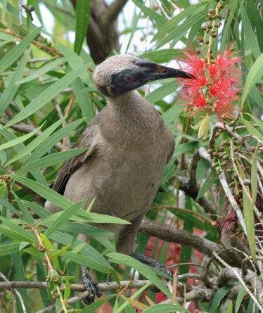 helmeted-friarbird_daintree-qld-australia_lah_5550