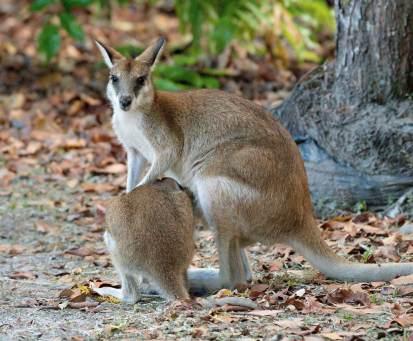kangaroos_daintreewildzoo-qld-australia_lah_5136f