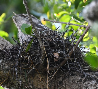 papuan-frogmouth-on-nest_daintreeriver-boat-qld-australia_lah_6404