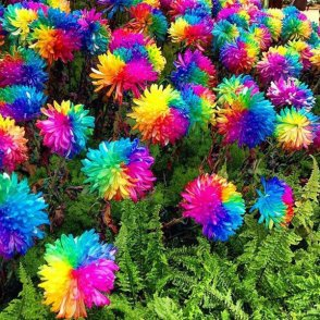 rainbow mums in garden