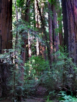 redwood-forest-santa-cruz