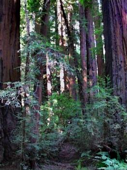 redwood-forest-santa-cruz