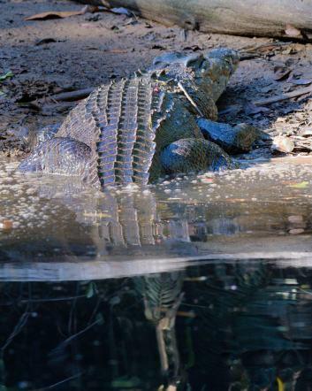 saltwater-crocodile_daintreeriver-boat-qld-australia_lah_6480
