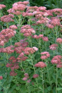 Sedum Autumn Joy_DBG_LAH_7252