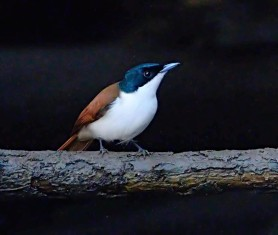 shining-flycatcher_daintreeriver-boat-qld-australia_lah_6326f