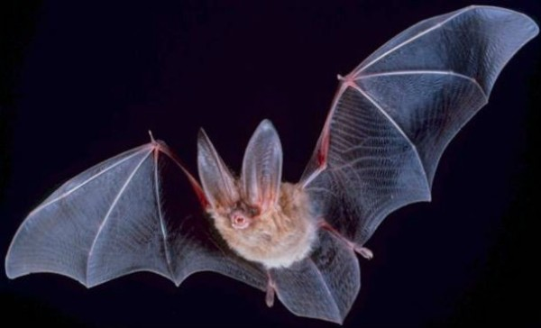 bat wikicommons ucberkley