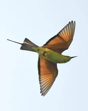 bee-eater_okhlabirdsanctuary-india_lah_8564f