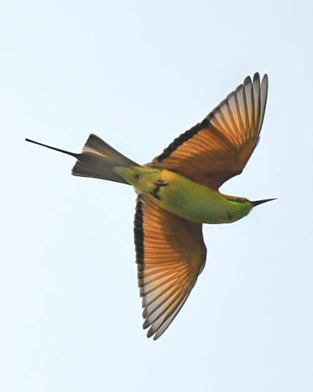 bee-eater_okhlabirdsanctuary-india_lah_8564f