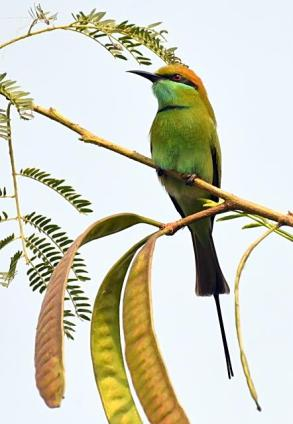 bee-eater_okhlabirdsanctuary-india_lah_8689f
