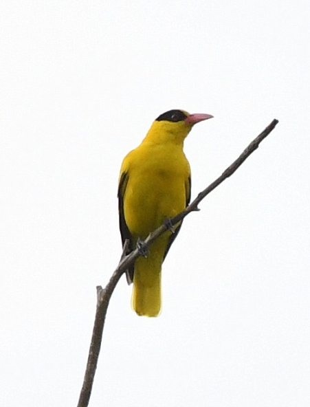 black-naped-oriole_macritchiereservoir-singapore_lah_7980-copy