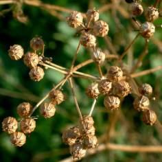 Cilantro seeds @Holzmann garden 26sept05 LAH 017