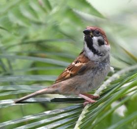 eurasian-tree-sparrow_botanicgardens-singapore_lah_7414-copy