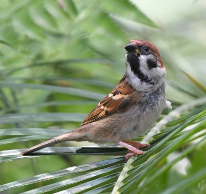 eurasian-tree-sparrow_botanicgardens-singapore_lah_7414-copy