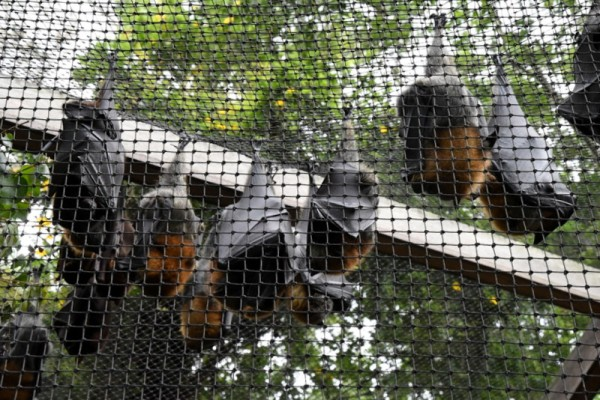 Flying Foxes_LonePineKoalaSanctuary-Brisbane-QLD-Australia_LAH_1399