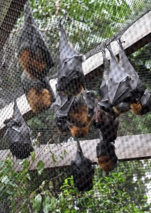 Flying Foxes_LonePineKoalaSanctuary-Brisbane-QLD-Australia_LAH_1402