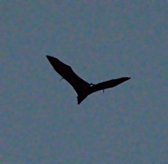 Fruit Bats_DaintreeRiver boat-QLD-Australia_LAH_6145f