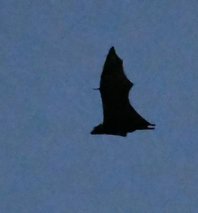 Fruit Bats_DaintreeRiver boat-QLD-Australia_LAH_6155f