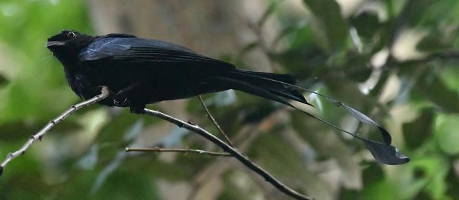 greater-racket-tailed-drongo_botanicgardens-singapore_lah_6802f-copy