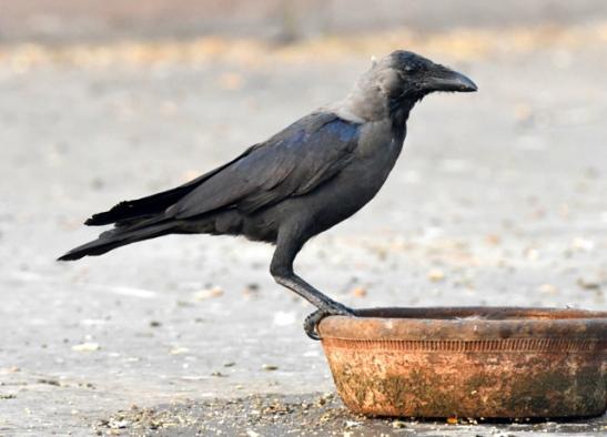 house-crow_delhi-india_lah_8184