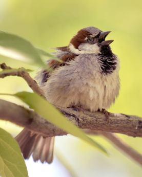 House Sparrow male @DenverZoo 20090527 LAH 926-001