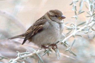 House Sparrow_BosquedelApacheNWR-NM_LAH_6518