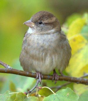 House Sparrow_DenverZoo_LAH_2957-001