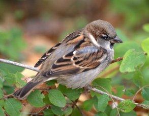 House Sparrow_DenverZoo_LAH_2977
