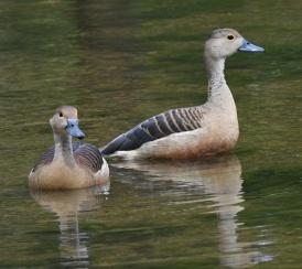 lesser-whistling-duck_botanicgardens-singapore_lah_6923-copy