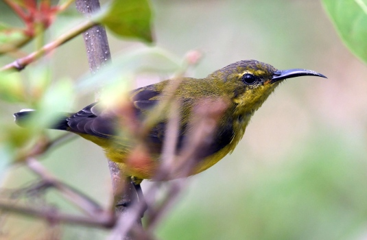 olive-backed-sunbird_macritchiereservoir-singapore_lah_8022-copy