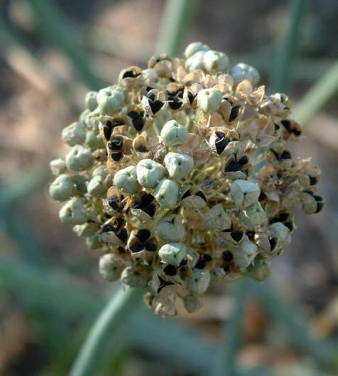 Onion seedhead @Holzmann garden 26sept05 LAH 002-001