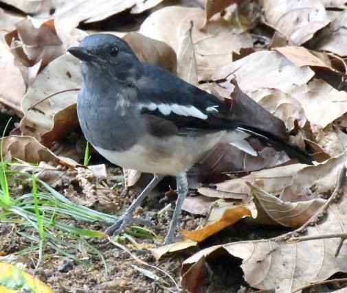 oriental-magpie-robin_botanicgardens-singapore_lah_6962-copy