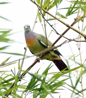 pink-necked-green-pigeon_botanicgardens-singapore_lah_6876-copy