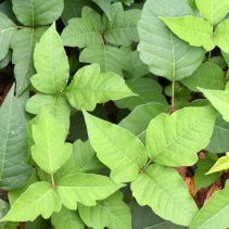 Poison Ivy_Columbus-OH_LAH_3633