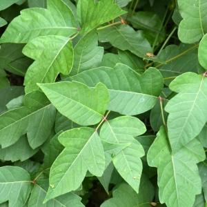 Poison Ivy_Columbus-OH_LAH_3634